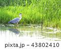 アオサギ サギ 水鳥の写真 43802410