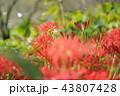 彼岸花 曼珠沙華 地獄花の写真 43807428