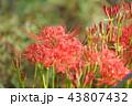 彼岸花 曼珠沙華 地獄花の写真 43807432