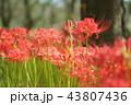 彼岸花 曼珠沙華 地獄花の写真 43807436