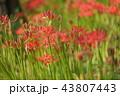 彼岸花 曼珠沙華 幽霊花の写真 43807443