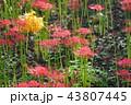 彼岸花 曼珠沙華 幽霊花の写真 43807445
