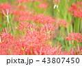 彼岸花 曼珠沙華 地獄花の写真 43807450