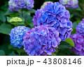 花 あじさい 紫陽花の写真 43808146