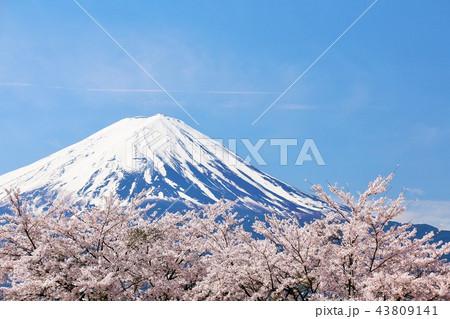 春の青空と桜並木 そして富士山 43809141