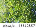 ホップ 植物 クローズアップの写真 43812357