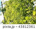 ホップ 植物 クローズアップの写真 43812361
