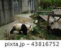 中国 四川省 成都 パンダ基地 パンダ 43816752