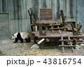 中国 四川省 成都 パンダ基地 パンダ 43816754
