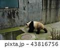 中国 四川省 成都 パンダ基地 パンダ 43816756