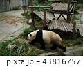 中国 四川省 成都 パンダ基地 パンダ 43816757