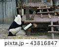 中国 四川省 パンダ基地 パンダ 43816847
