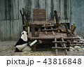 中国 四川省 パンダ基地 パンダ 43816848