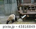 中国 四川省 パンダ基地 パンダ 43816849