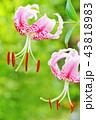 カノコユリ 43818983