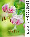 カノコユリ 43818984