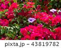 牽牛花和九重葛 牽牛とブーゲンビリア Morning Glory and Bougainvillea 43819782
