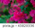 九重葛 ブーゲンビリア Bougainvillea 勒杜鵑 葉子花 三角花 千日紅 毛寶巾 43820336