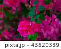 九重葛 ブーゲンビリア Bougainvillea 勒杜鵑 葉子花 三角花 千日紅 毛寶巾 43820339