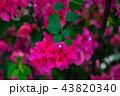 九重葛 ブーゲンビリア Bougainvillea 勒杜鵑 葉子花 三角花 千日紅 毛寶巾 43820340
