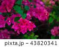 九重葛 ブーゲンビリア Bougainvillea 勒杜鵑 葉子花 三角花 千日紅 毛寶巾 43820341