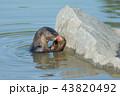 動物 かわうそ カワウソの写真 43820492