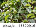カリン 実 果実の写真 43820916