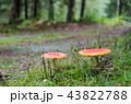 Red mushroms in a green forest 43822788