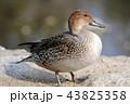水鳥 野鳥 鳥の写真 43825358