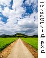 水田 田んぼ 田舎道の写真 43828491