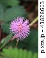 花 植物 ピンクの写真 43828603