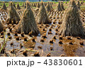 秋 米 日本の写真 43830601