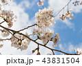 桜 クローズアップ 植物の写真 43831504