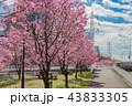 春 桜 公園の写真 43833305