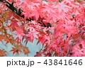 紅葉 モミジ 秋の写真 43841646