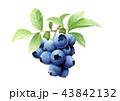 ブルーベリー 果物 果実のイラスト 43842132