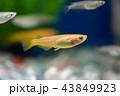ヒメダカ 43849923