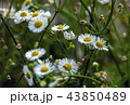 Flowers of a beautiful roman chamomile. 43850489