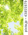 新緑 葉 若葉の写真 43855979