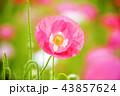 花 ケシ ピンクの花の写真 43857624