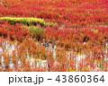 サンゴ草 能取湖 紅葉の写真 43860364