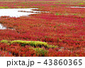 サンゴ草 能取湖 紅葉の写真 43860365
