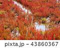 サンゴ草 能取湖 紅葉の写真 43860367