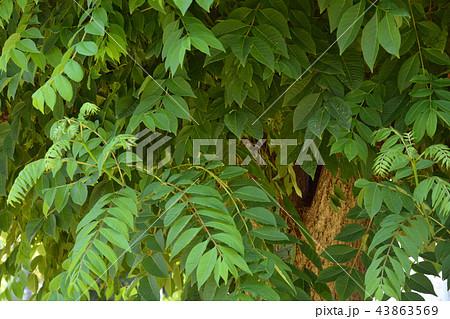 樹木:オオバノキハダ ミカン科 43863569