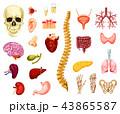 器官 骨 つがいのイラスト 43865587