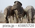 アフリカ 野生動物 動物の写真 43865720