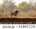 アフリカ 野生動物 動物の写真 43865729