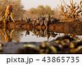 アフリカ 野生動物 水辺の写真 43865735