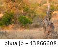 アフリカ 野生動物 動物の写真 43866608