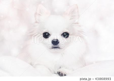 白いロングコートチワワの写真素材 [43868993] , PIXTA